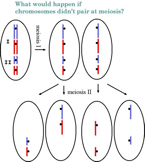 What is the difference between diploid and haploid cells png 804x897